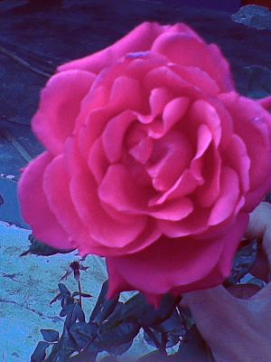 English: A Red Rose at Bloom