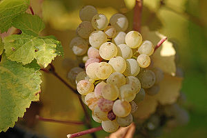 Ripe grapes of Riesling.