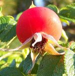 Rosa rugosa Frucht 1