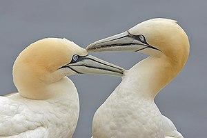 Northern Gannets (Morus bassanus), Bonaventure...