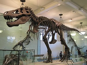 English: A fossil of a Tyrannosaurus Rex in th...