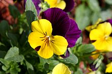 Pansy   Wikipedia Viola tricolor flower close up  A bicolor pansy