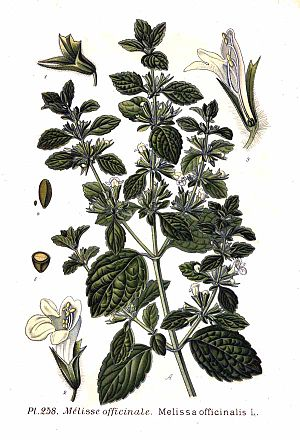English: Melissa officinalis L.