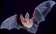 A bat with wings outspread flying from the black background toward the left side of the photograph. Its long ears are pointed upward, and the fine veining on its black wings is evident. The fur on its body and head is a brownish-yellow colour.