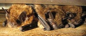 A few Big Brown Bats sheltering between a hous...