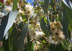 Eucalyptus melliodora foliage and flowers
