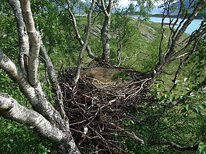 Empty nest of a White-tailed Eagle, location s...