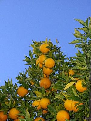 English: Orange tree, chez fine, Menlo Park (C...