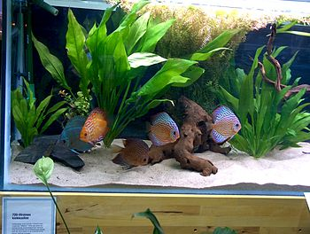 English: Discus fish (Symphysodon aequifasciat...