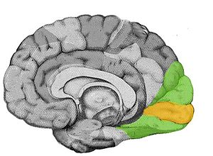 English: visual cortex