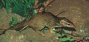 Tupai madras (Anathana ellioti)