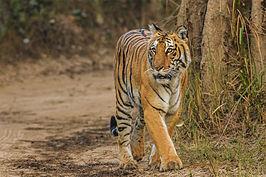 Bengal-Tiger Corbett Uttarakhand Dec-2013.jpg