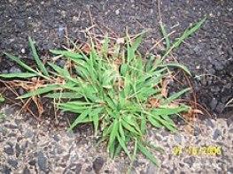Crabgrass.JPG