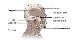 Illustration of head and neck muscles