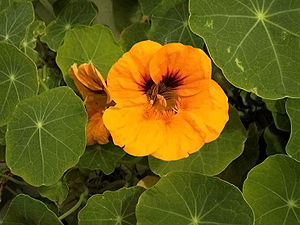 The flowers and leaves of the nasturtium plant.