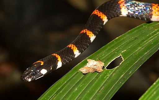 Pliocercus euryzonus