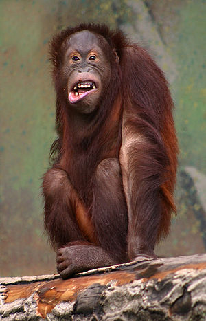Orangutan in Aalborg Zoo, Denmark