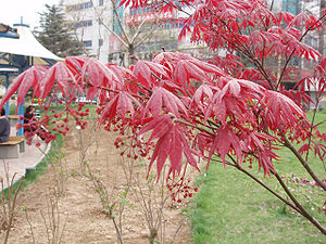 Red-foliaged plants such as this are sold unde...