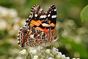 Australian Painted Lady, Vanessa kershawi, fee...