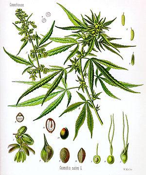 Cannabis sativa, scientific drawing.