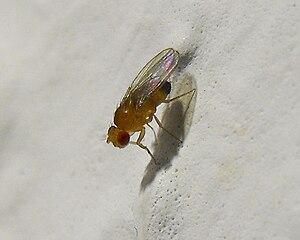 Polski: Drosophila melanogaster