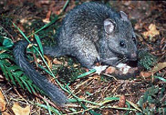 North American packrat or wood rat, courtesy of USDA and Wikimedia commons.