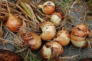 golden sweet onions