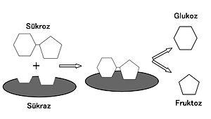 English: The disaccharidase sucrase hydrolyzes...