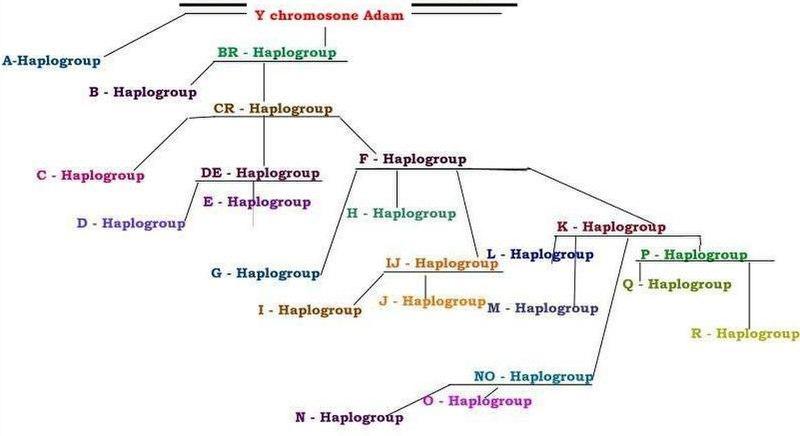 File:Yhaplotree.JPG
