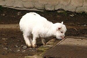 Young Pygmy goat in ZOO Dvůr Králové, Czech Re...