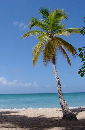 English: Coconut Palm on Martinique.