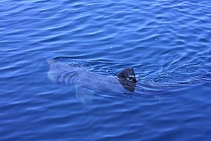 English: Basking Shark Dursey Sound