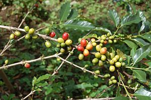 Bahasa Melayu: Buah kopi