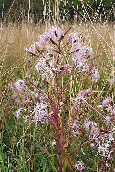 Nadeshiko - Dianthus superbus