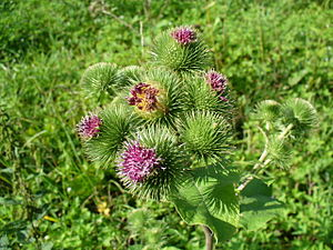 English: Greater burdock (Arctium lappa) Deuts...