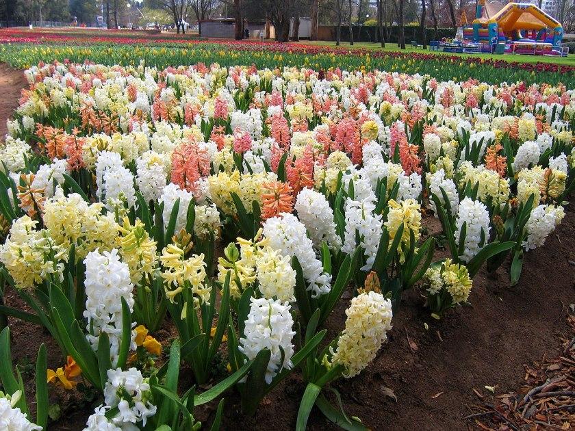 zambilele-rafinatele flori ale primaverii