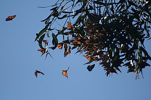 Monarch butterflies cluster in Santa Cruz, Cal...