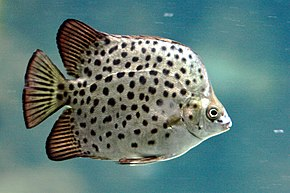 Scatophagus Wikip 233 Dia