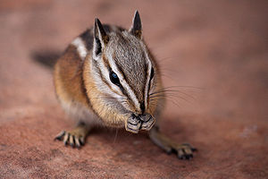 Chipmunk, probably Tamias umbrinus (Uinta chip...