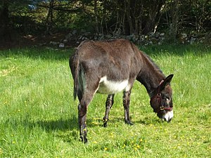 English: Irish Donkey Pictured at Lough Gill
