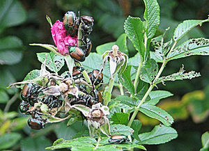 English: Japanese Beetles (Popillia japonica) ...