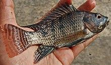 Ikan nila jantan