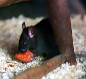 Rattus rattus English: Black rat at London Zoo.