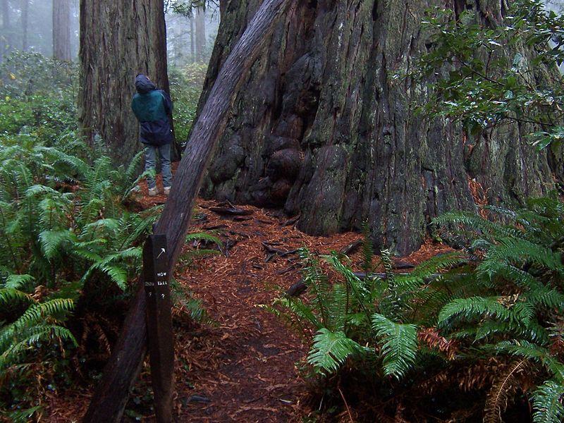 File:Redwood-national-park-Sequoia.250ft.jpg