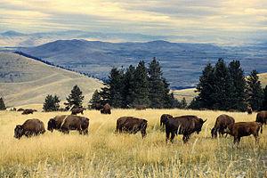 English: Bison herd grazing at the National Bi...