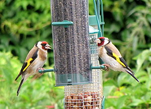 Carduelis carduelis English: European Goldfinc...