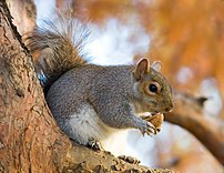 An Eastern Grey Squirrel (Sciurus carolinensis...