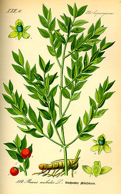 https://i2.wp.com/upload.wikimedia.org/wikipedia/commons/thumb/7/7c/Illustration_Ruscus_aculeatus0.jpg/250px-Illustration_Ruscus_aculeatus0.jpg
