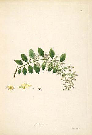 Illustration of Salvadora persica