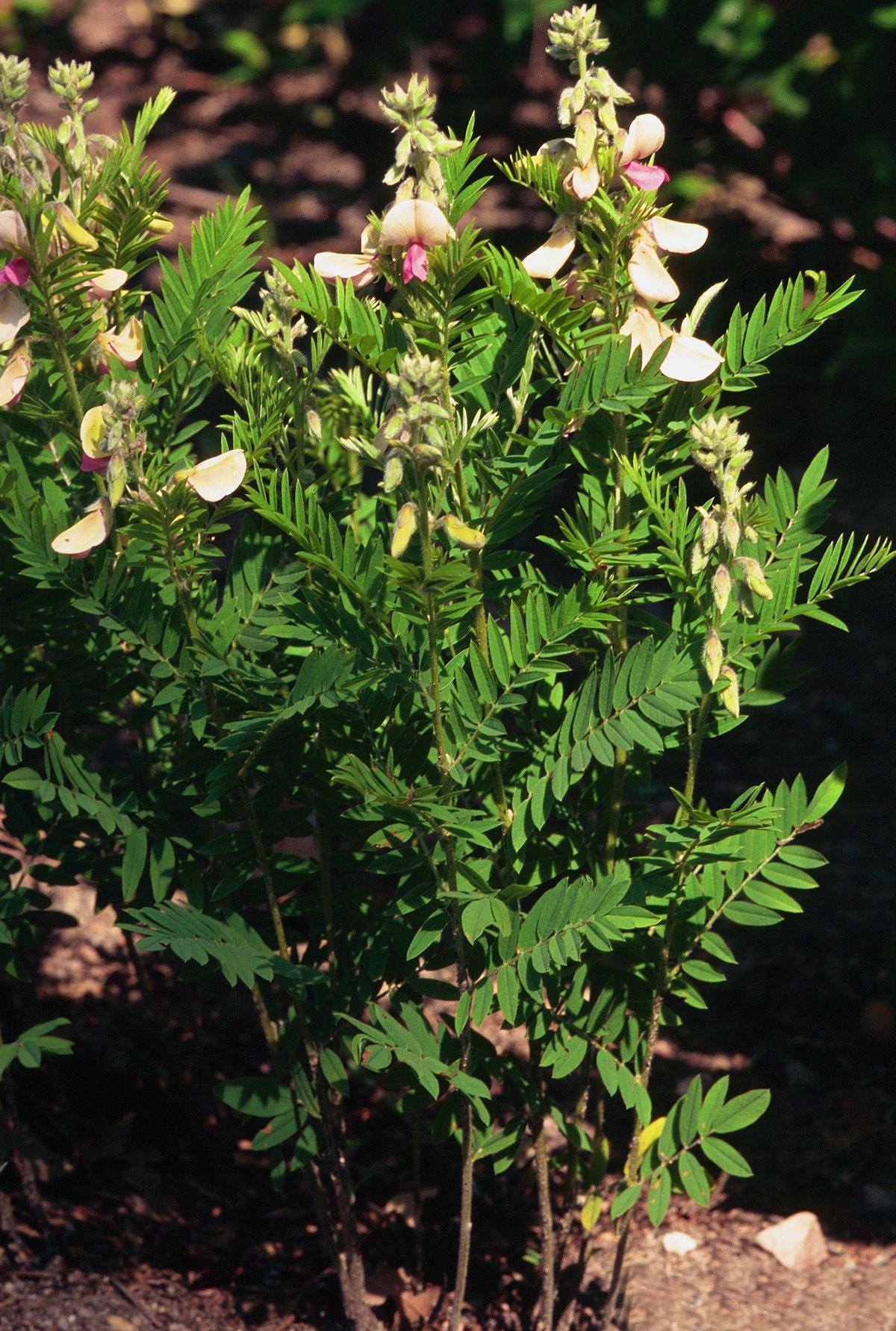 Tephrosia Virginiana Wikipedia